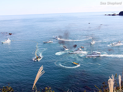 Japanese fishermen driving a pod of Risso's dolphins off the coast of Taiji