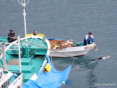 Body of a Risso's dolphin being transferred in Taiji, Japan