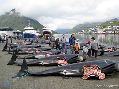 Pilot whales lined up after being slaughtered