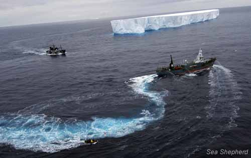 A Sea Shepherd Small Boat tries to prevent the Yushin Maru 2 from aggressively tailing the Steve Irwin