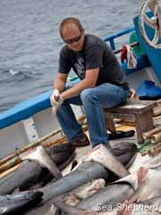 Sea Shepherd Galapagos Director Alex Cornelissen observes dead sharks from an illegal fishing operation busted by local authorities. Photo: Tim Watters