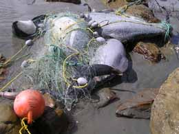 Dead dolphins tangled in gill net. Photo: DOC NZ