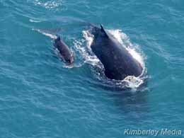 Whale and calf off James Price Point  -  photo: Annabelle Sandes/Kimberley Media