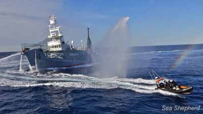 Sea Shepherd small boat crews distract the harpoon ship, Yushin Maru 3, from hunting whales