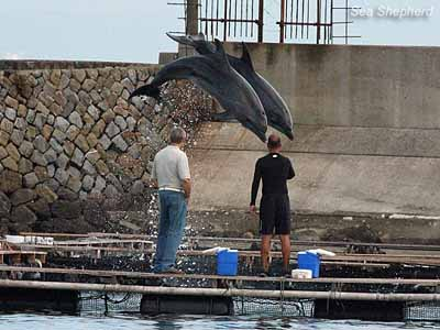 "Buyer and local trainer watch dolphins ""perform"" for dead fish"