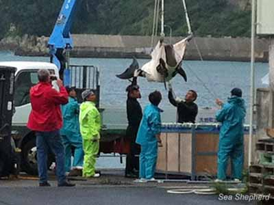 Buyer (in red jacket) films as dolphin cries while being loaded onto transfer truck headed for airport