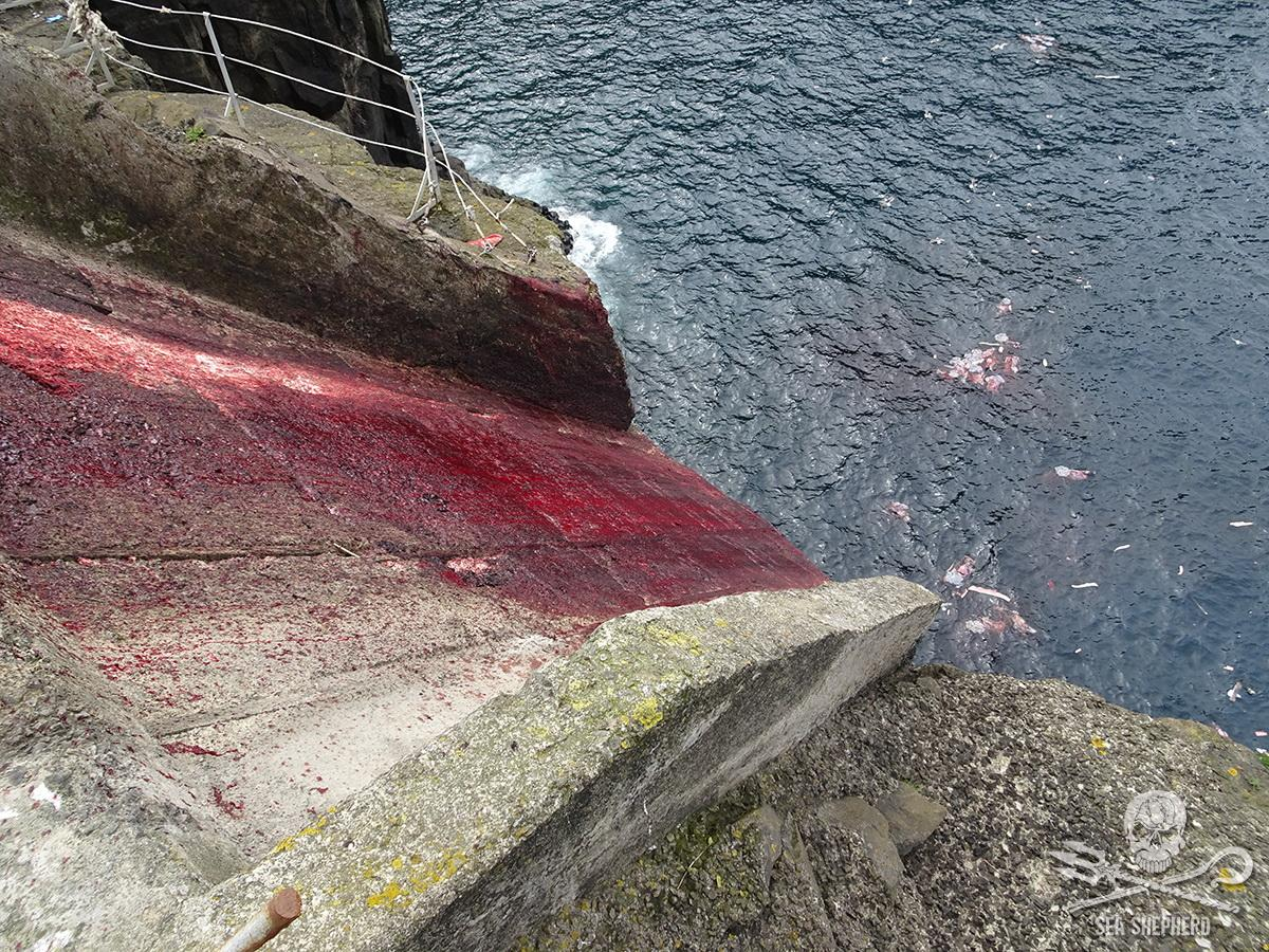 A concrete chute over a cliff at Hvalba photographed by a tourist on the 27th May 2019 drenched in blood with sections of pilot whales seen submerged and floating below.