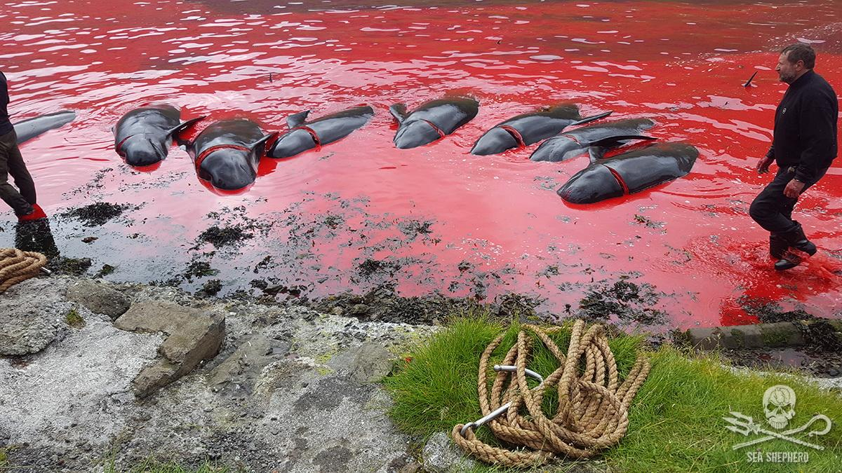A total of 70 long finned pilot whales killed in the Hvannasund grindadráp of 5th July 2017