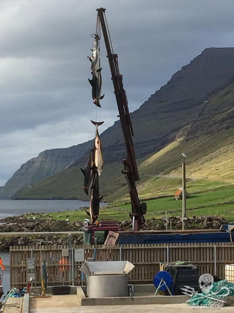 Atlantic White Sided Dolphins being lifted by a crane at Hvannasund on the 16th August 2018 [Photo: Sea Shepherd UK]