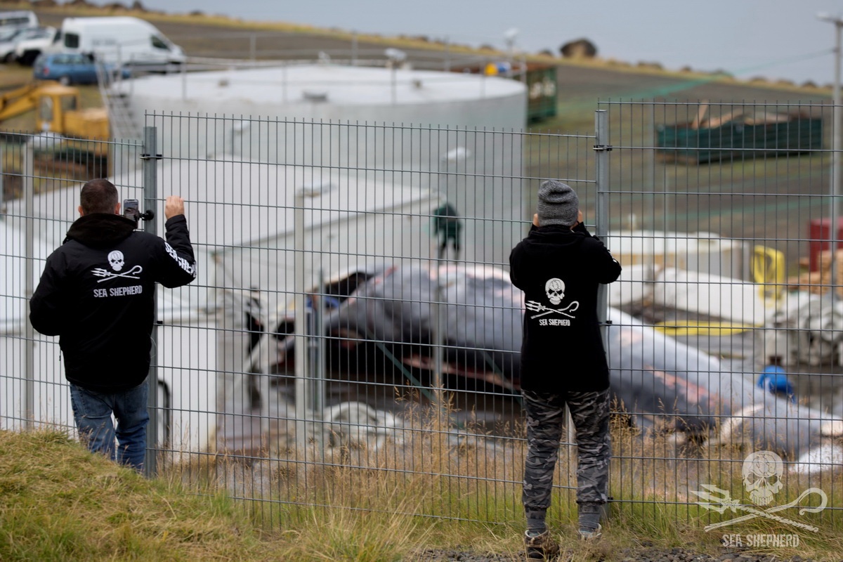 Two of our campaign crew livestreaming and photographing the butchering of an endangered Fin whale in August 2018 - Sea Shepherd UK