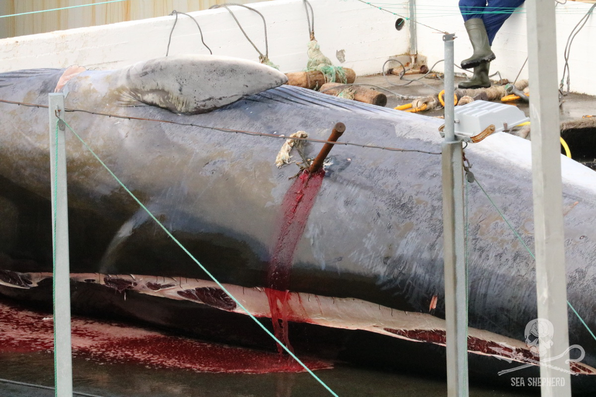 Blood pours from a harpoon wound on the back of an endangered Fin whale - Sea Shepherd UK (2018)