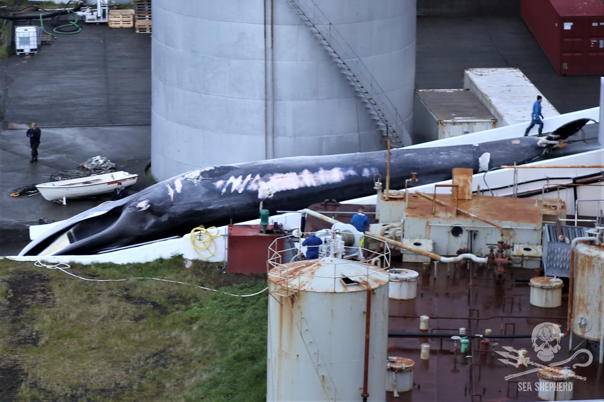 The first Fin whale on the slipway of the whaling station after having been harpooned the day before by Hvalur 8 - Sea Shepherd UK (2018)