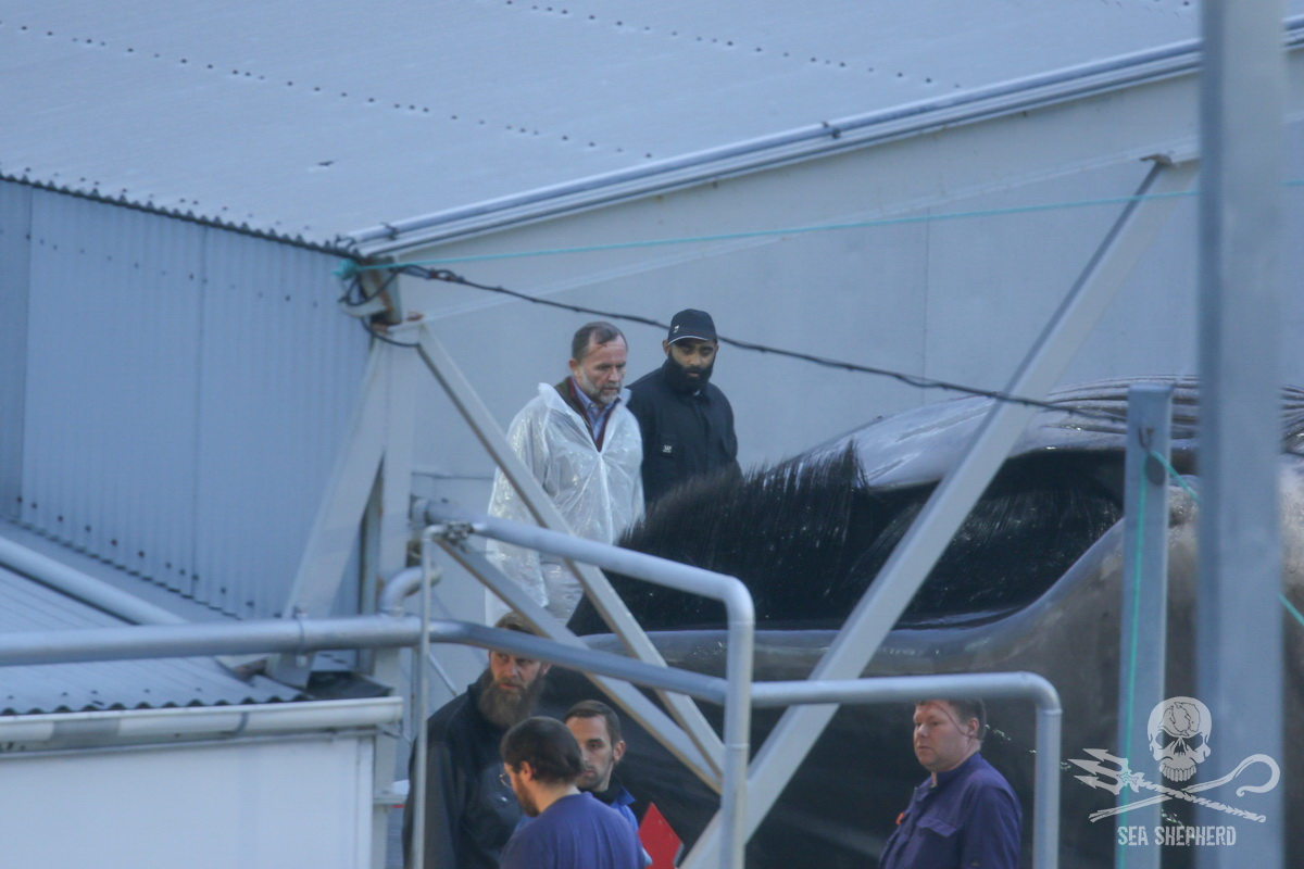 Hvalur hf CEO Kristjan Loftsson stands looking at the 22nd whale's all black baleen, a characteristic of Blue whales, not of Fin whales - Sea Shepherd UK (2018)